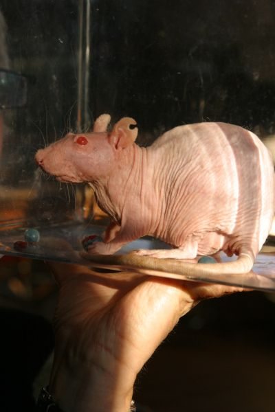 A hairless rat with red eyes is enclosed in a clear container being help by someone just out of frame.