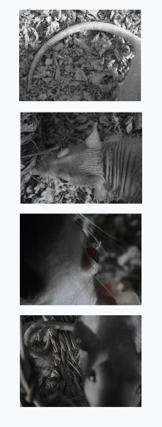 a vertical series of four images showing, from top to bottom, a rat tail, a rat head from above, a ray eye from a near perspective, and rat portrait taken as it investigates the camera.